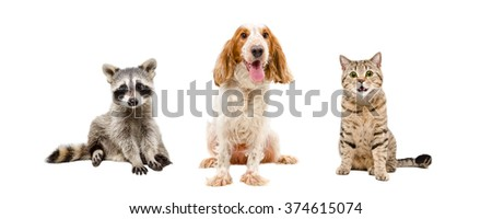Raccoon, dog and cat sitting together isolated on white background