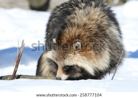 Raccoon dog in winter inspecting smells under snow.