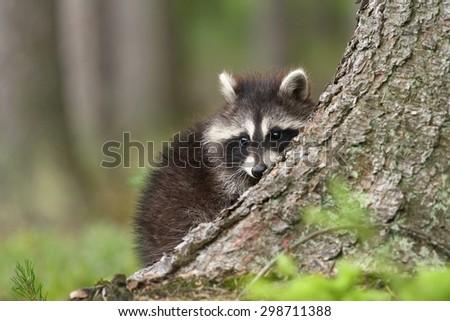 Raccoon hidden - stock photo
