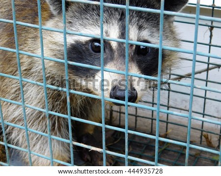 Raccoon Stock Photos Royalty Free Images Amp Vectors