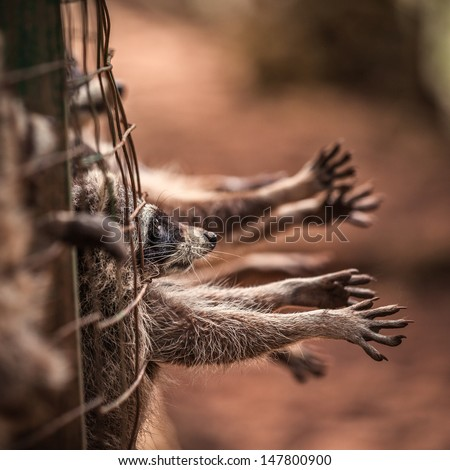 raccoon in a cage - stock photo
