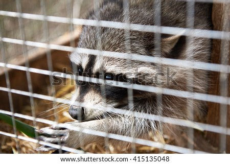 Raccoon in cage - stock photo