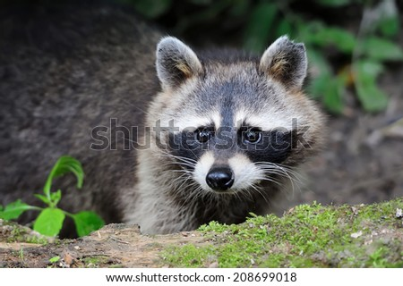 Raccoon in the forest in the natural environment - stock photo