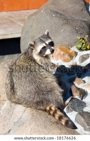 Raccoon living in territory of a zoo