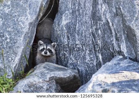 Raccoon peers out of a cave formed by boulders piled to form the pier at Jetty Park in Port Canaveral, Florida. The racoon and its mate live at the pier and are relatively unafraid of humans. - stock photo