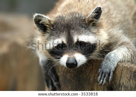 Raccoon portrait - stock photo
