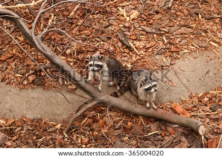 Raccoon portrait. A Pair of Raccoons. Two raccoon sitting together on a tree   - stock photo