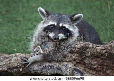 Raccoon Stock Images Royalty Free Images Amp Vectors