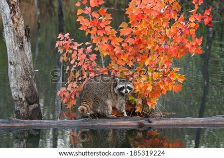 Raccoon (Procyon lotor) Crawls About on Log in Water - captive animal - stock photo