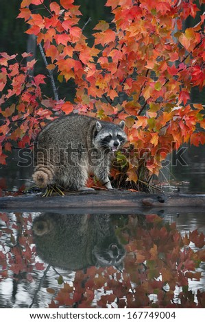 Raccoon (Procyon lotor) Cries Out with Reflection - captive animal - stock photo
