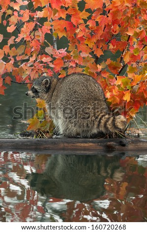 Raccoon (Procyon lotor) Looks Left on Log in Water - captive animal - stock photo