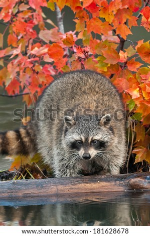 Raccoon (Procyon lotor) Looks Off Log - captive animal - stock photo