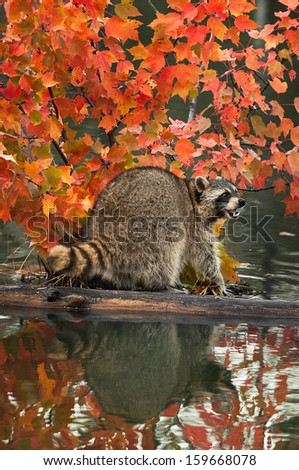 Raccoon (Procyon lotor) Open Mouth on Log in Water- captive animal - stock photo