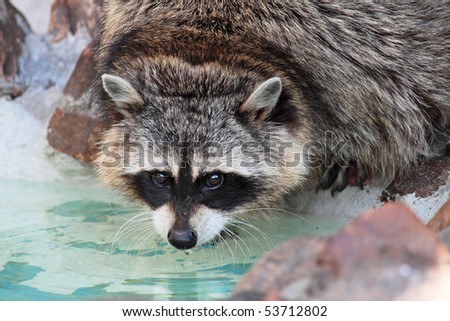 Raccoon (Procyon lotor), portrait about water - stock photo