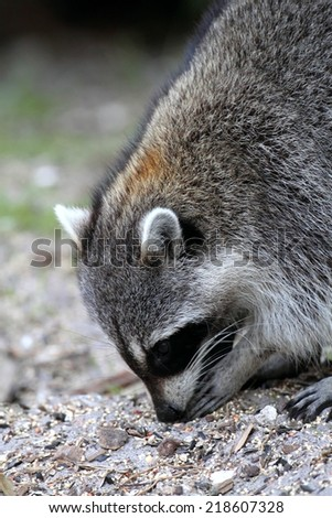 Raccoon (Procyon lotor) searching for food - stock photo