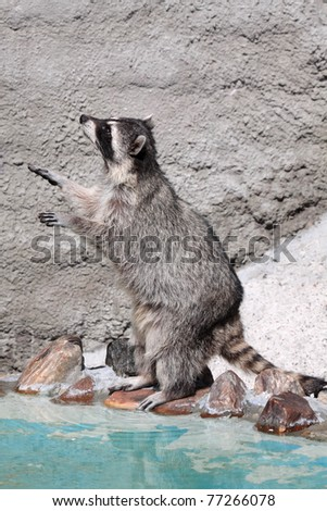 Raccoon (Procyon lotor) standing on hind legs about water - stock photo