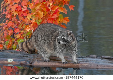 Raccoon (Procyon lotor) Stands on Log in Pond Looking Left - captive animal - stock photo