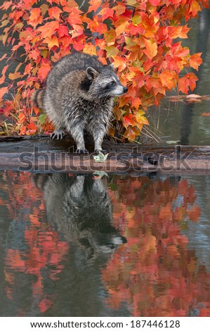 Raccoon (Procyon lotor) Stands on Logs in Pond - captive animal - stock photo