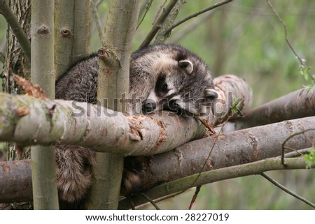 raccoon resting high up in a tree in the woods - stock photo