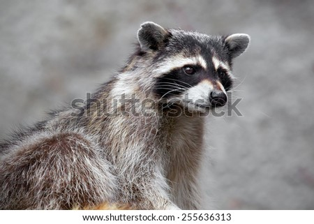Raccoon sitting and staring intently. He looks very surprised