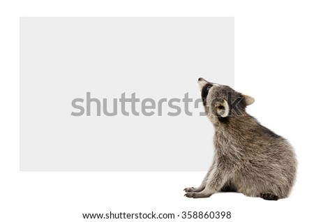 Raccoon sitting looking at the banner, rear view, isolated on white background