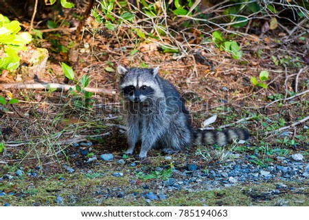 Raccoon sitting pose at Point Defiance Park in Tacoma Washington