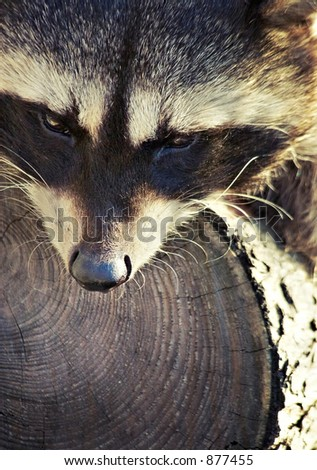 Raccoon together with a favourite tree