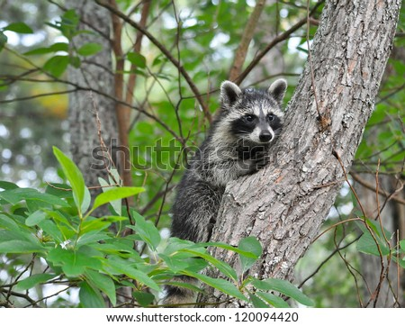 Raccoon Up a Tree - stock photo