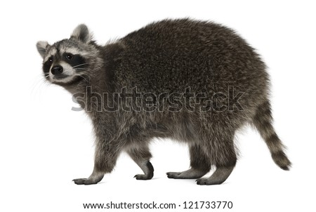 Raccoon, 2 years old, walking in front of white background - stock photo