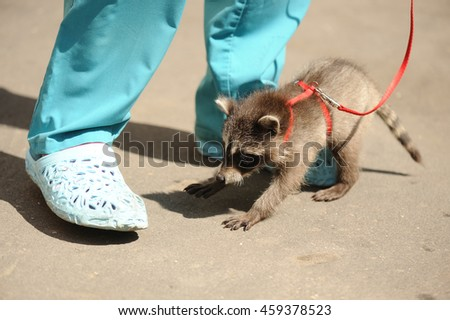 Raccoons first walking