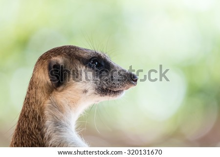 Raccoons look like bandits with a black stripe across their eyes. Raccoons staring intently. - stock photo