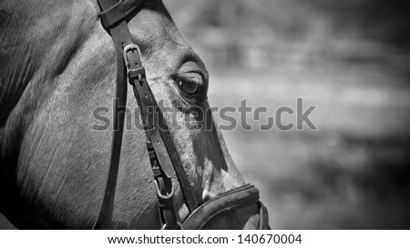 racehorse, monochrome - stock photo