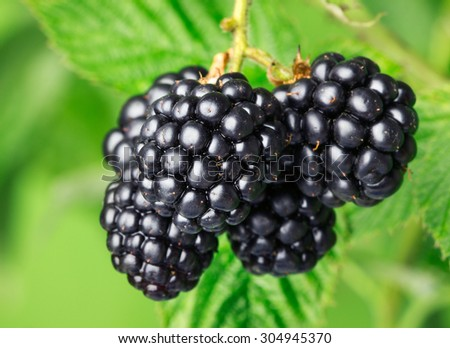 Raceme of fresh blackberries among green leaves - stock photo