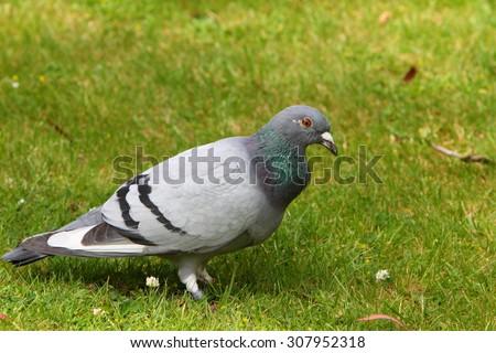 Racing pigeon - stock photo