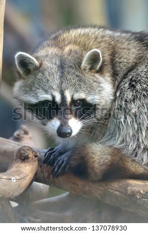 Racoon - stock photo