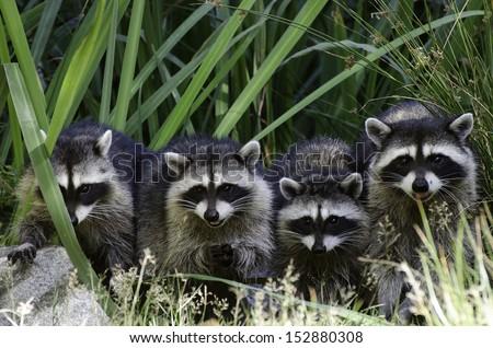 Racoon family - stock photo