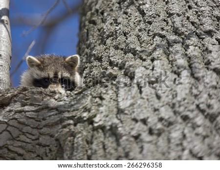 Racoon in Winter in Ontaro Canada in tree - stock photo