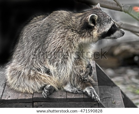 Racoon on the porch. Latin name - Procyon lotor