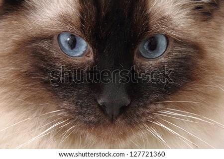 radgoll cat detail - stock photo