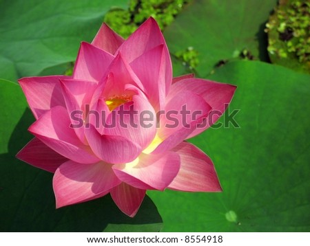 Radiant lotus flower asia this flower stock photo royalty free radiant lotus flower in asia this flower is also a symbol for buddhism mightylinksfo Choice Image