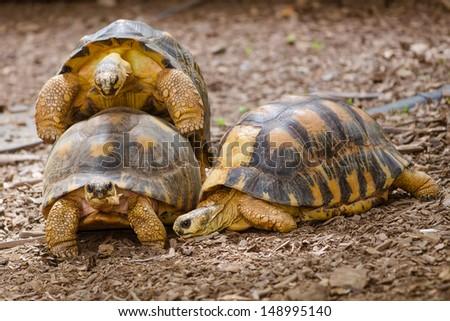 Radiated tortoises mating (Astrochelys radiata) - stock photo