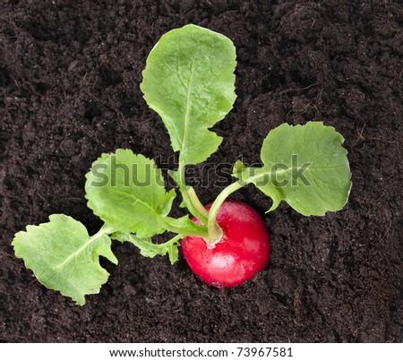 radish growing on soil , close up macro shot top view background  - stock photo