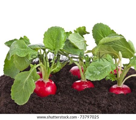 radish growing on soil isolated - stock photo