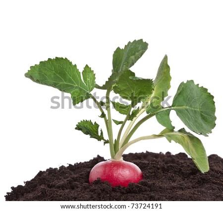 radish growing on soil pile isolated on white background   - stock photo