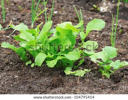 Radish plant in the soil - stock photo
