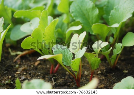 Radish plants growing in organic soil.