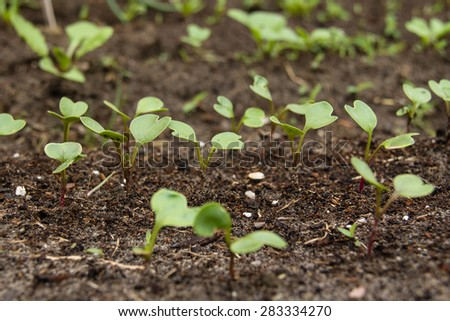 Radish sprout in vegetable garden selective focus