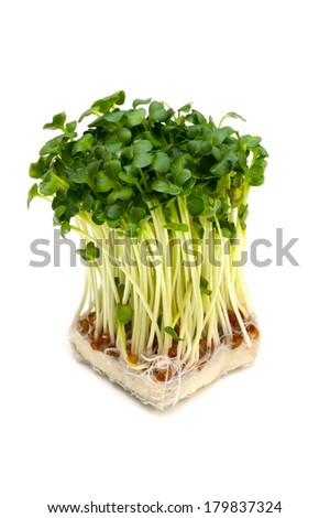 Radish sprouts-Raphanus sativus, This image is available for clipping work.  - stock photo