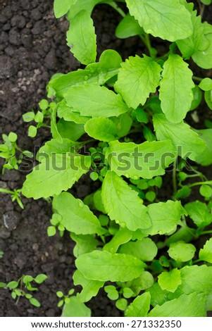 radsish plants - stock photo