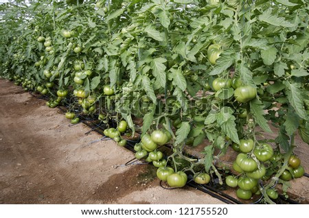 Drip Irrigation Stock Photos Images Amp Pictures